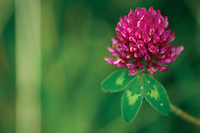Red Clover (Trifolium Pratense)<br /> <br /> Copyright www.scottishhorizons.co.uk/Keith Fergus 2011 All Rights Reserved
