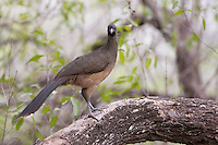 Plain Chachalaca (Ortalis vetula mccallii) in a tree at the Bentsen-Rio Grande Valley State Park in Mission, Texas.