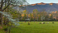 Great Smoky Mountains National Park, TN/NC: Horses grazing in Cades Cove in early spring