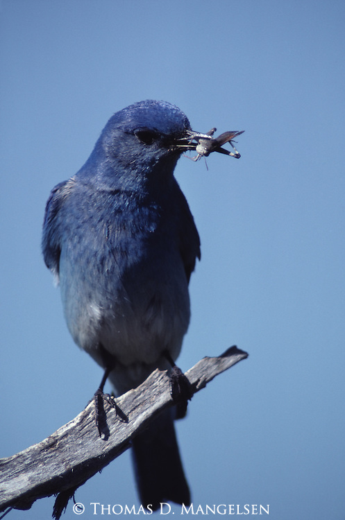Mountain Bluebird perched with a grasshopper in its mouth.