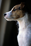 Jack Russell Terrier Window Light Portrait