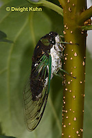 HO03-507z Dog-day Cicada, Tibicen canicularis