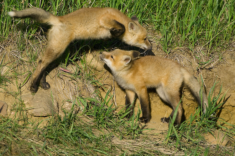 Red Fox kit jumping over a sibling
