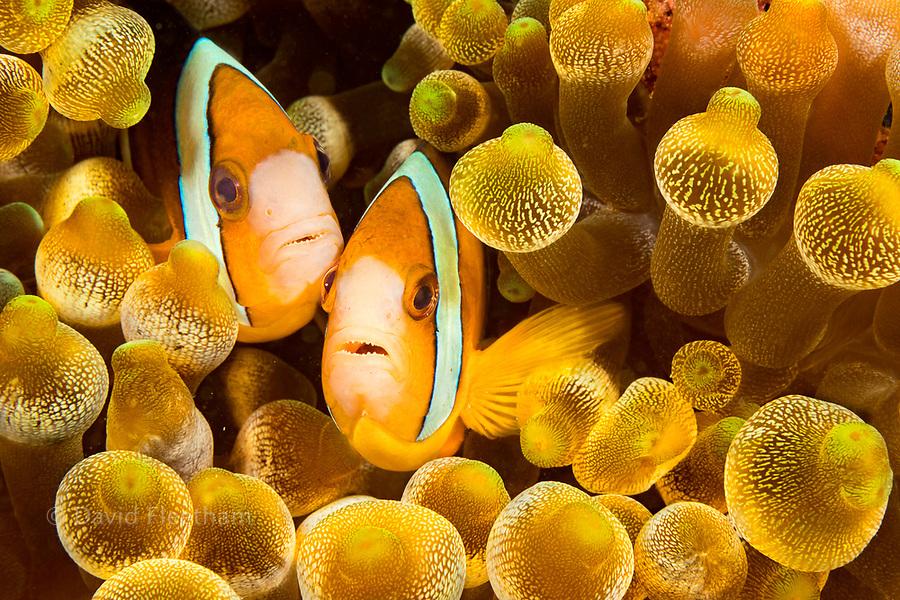 Clark's anemonefish, Amphiprion clarkii, in sea anemone, Entacmaea quadricolor, Philippines.