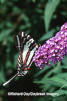 03006-00120 Zebra Swallowtail (Eurytides marcellus) on Butterfly Bush (Buddleia davidii) Marion Co.  IL