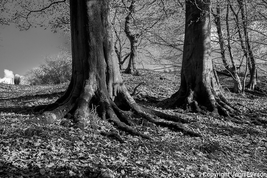 Beech trees, Dinkling Green, Whitewell, Clitheroe, Lancashire.