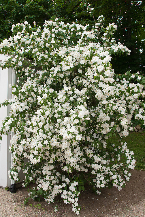 Philadelphus 39 manteau d 39 hermine 39 plant flower stock for White flowering bush
