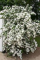 Philadelphus 'Manteau d'Hermine' bush shrub with double white flowers
