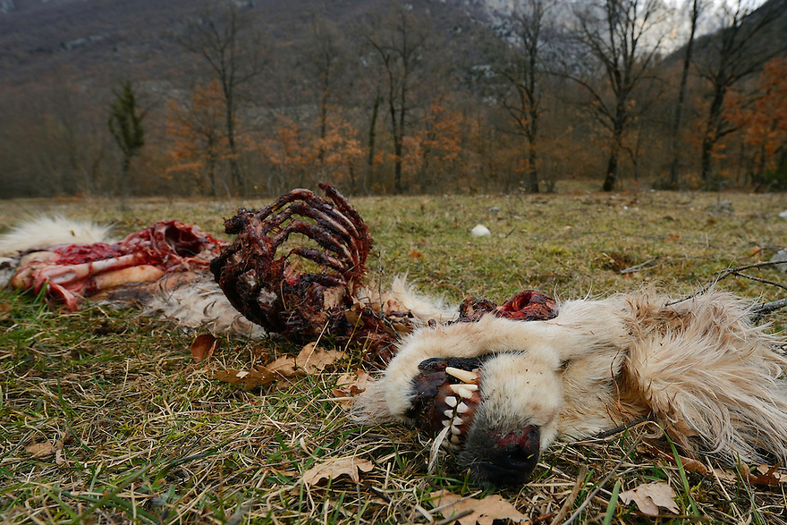 Wolf-killed dog, Central Apennines, Italy