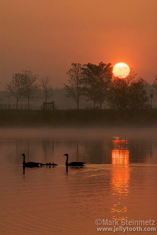 A pair of Canada Goose (Branta canadensis) with goslings silhouetted by sunrise, Maumee State Park, Ohio