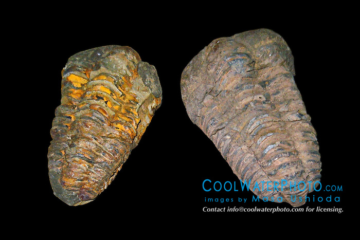 trilobite fossils, Flexicalymene meeki, approximately 425 to 500 milliion years old, Paleozoic Era, middle Ordovician Period - an extinct marine anthropod common in Europe and North America