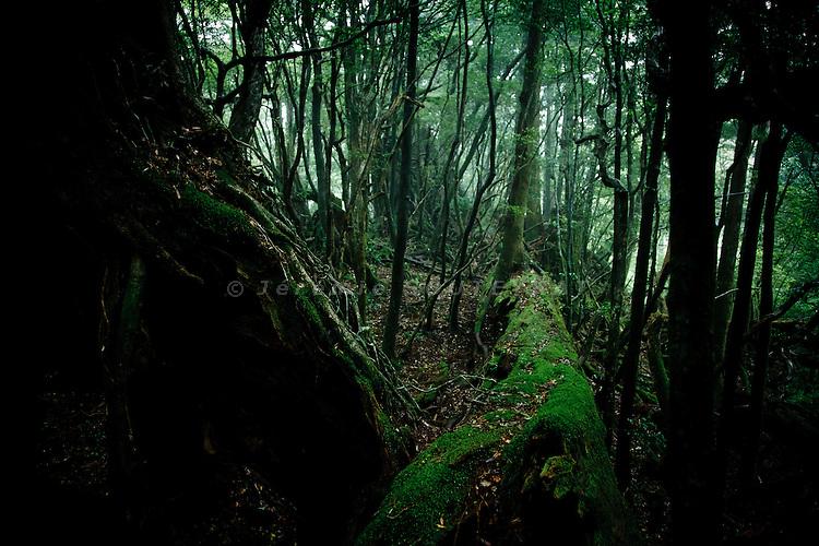 Yakushima, June 2011 - Forest of Yakusugi Cedar Land in Yakushima.