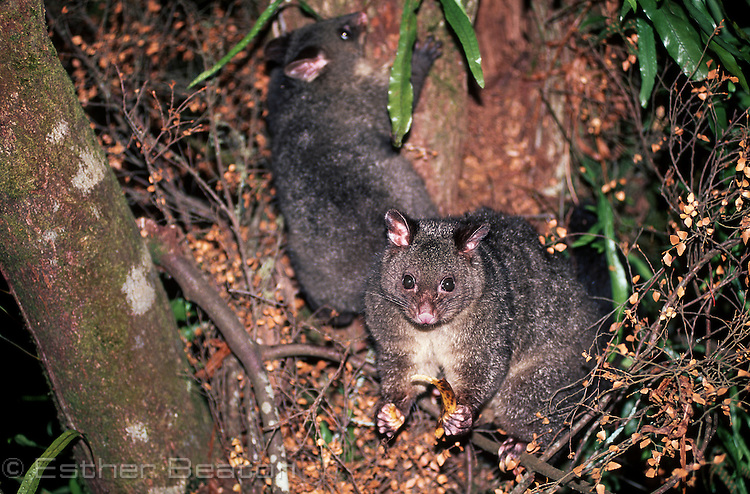 Bobuck or Mountain Brushtail Possum, female and large young, emerging from hollow of a rainforest myrtle tree. Central Highlands, Victoria.