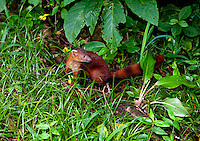 Malagasy ring-tailed mongoose (Galidia elegans) - This species is the  most common, widespread and regularly encountered native carnivore of Madagascar is easily recognised by its bushy, ringed tail after which it is named . The Malagasy ring-tailed mongoose is the size and shape of a typical mongoose, with a low-slung body, short legs, small, pointed head and rounded ears. Amber Mountain National Park, Northern Madagasacar.