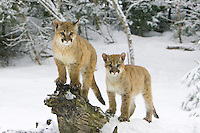 Pair of Puma kittens watching the snow fall from a snow covered log - CA