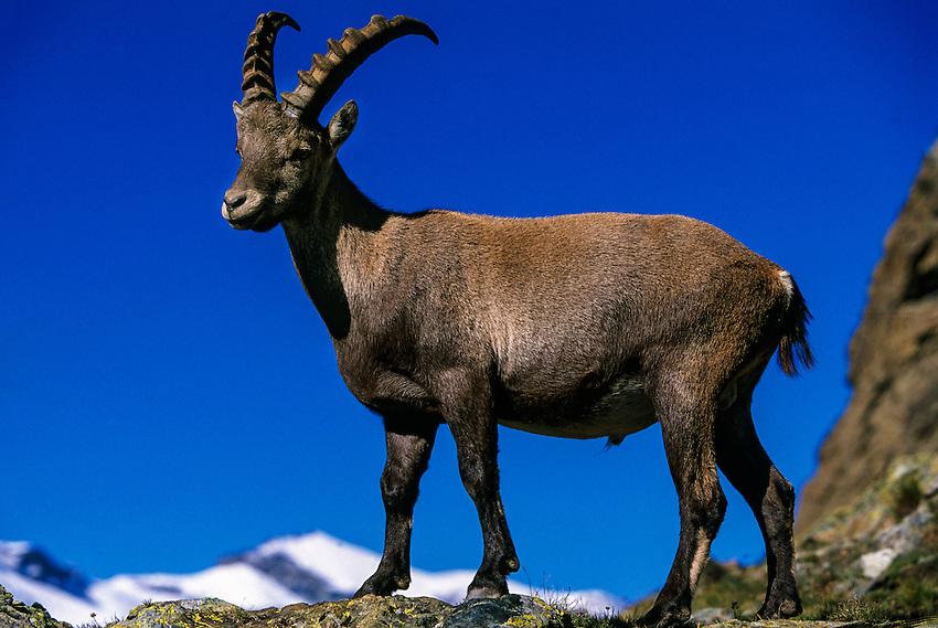 Ibex in the mountains above Zermatt (near the Matterhorn), Switzerland