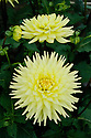 Dahlia 'Oakwood Goldcrest', mid August.