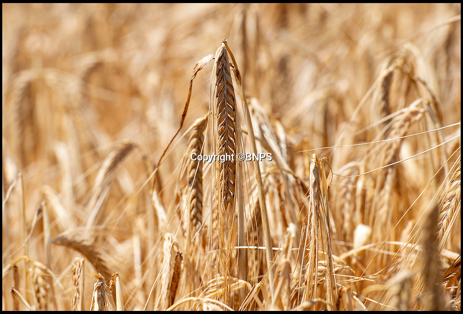 "BNPS.co.uk (01202 558833)<br /> Pic: PhilYeomans/BNPS<br /> <br /> Winter barley - ready to harvest...in June.<br /> <br /> The heatwave has caused an almost unheard of June harvest at a British farm.<br /> <br /> Bisterne Estate in Ringwood, Hants, produces seed barley, milling wheat and biscuit rye.<br /> <br /> Farm manager Martin Button says this is the earliest harvest there since 1976.<br /> <br /> They began harvesting their 750 acres of arable land on June 28, two weeks earlier than normal.<br /> <br /> However, they are expecting a significantly reduced yield as the barley grain is much smaller than in a typical year, which was been attributed to the dry summer.<br /> <br /> He said: ""We've never started in June in the 30 years I've been here.<br /> <br /> ""The earliest I can remember is July 2, and we would normally start the harvest between the 12th and 14th of July."