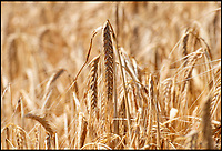 BNPS.co.uk (01202 558833)<br /> Pic: PhilYeomans/BNPS<br /> <br /> Winter barley - ready to harvest...in June.<br /> <br /> The heatwave has caused an almost unheard of June harvest at a British farm.<br /> <br /> Bisterne Estate in Ringwood, Hants, produces seed barley, milling wheat and biscuit rye.<br /> <br /> Farm manager Martin Button says this is the earliest harvest there since 1976.<br /> <br /> They began harvesting their 750 acres of arable land on June 28, two weeks earlier than normal.<br /> <br /> However, they are expecting a significantly reduced yield as the barley grain is much smaller than in a typical year, which was been attributed to the dry summer.<br /> <br /> He said: &quot;We've never started in June in the 30 years I've been here.<br /> <br /> &quot;The earliest I can remember is July 2, and we would normally start the harvest between the 12th and 14th of July.