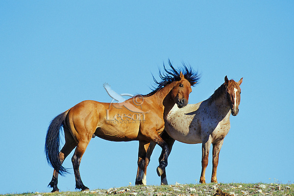 Two young wild horse stallions acting out dominance behavior.  Western U.S.