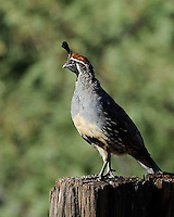 Gambel's Quail, Cave Creek Ranch, Arizona