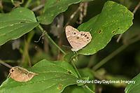 03481-00115 Southern Pearly-Eye (Enodia portlandia) Big Oak Tree State Park Mississippi County, MO