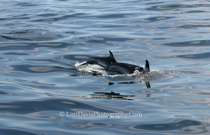 Two Dolphins Swimming #W29