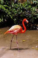 Pink flamingos, Xcaret Park (Eco-archaeological Theme park), Riviera Maya, Quintana Roo, Mexico.