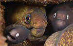 Moray eels of surprise ,Lembeh, Indonesia 2017