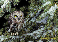 OW02-091b  Saw-whet owl - sitting on snow covered branch - Aegolius acadicus