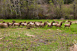 California: Roosevelt elk at  Prairie Creek Redwoods State Park.  Photo copyright Lee Foster california112763.