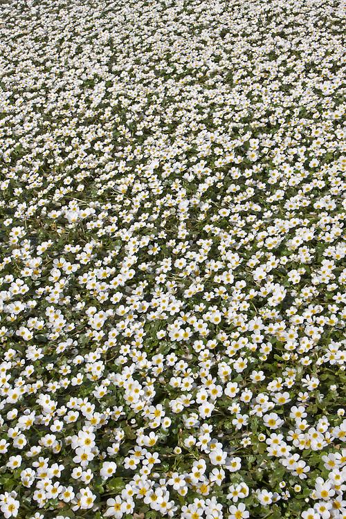 Water Crowfoot - Ranunculus sp.