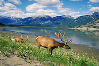 Two bull elk feeding at Jasper Lake in Alberta, Canada, at Jasper National Park. Canada Jasper National Park.