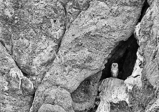 A barn owl perches on a cliff face in central California.