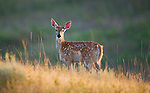 Spotted whitetail fawn
