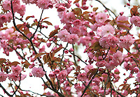 Stock image of pink cherry blossom flowers.