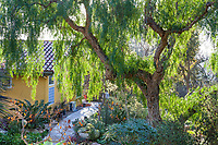 Schinus molle, California Pepper tree in Patrick Anderson sunny california garden