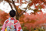 Back of a Japanese woman wearing a colorful yukata kimono stainding in beautiful red autumn scenery in Kyoto, Japan