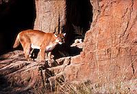 Mountain Lion, at Arizona-Sonora Desert Museum, Tucson, Arizona