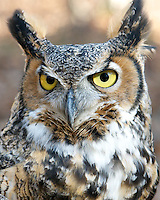This Great Horned Owl, named Gaia, resides at the Center for Wildlife in Cape Neddick, ME. Gaia is being cared for at the Center for an injury that prevents her from being returned to the wild.