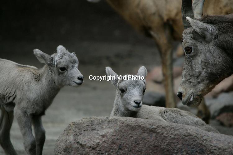 Foto: VidiPhoto..ARNHEM - In het Arnhemse dierenpark Burgers' Zoo zijn kort achter elkaar drie jonge dikhoornschapen geboren. De enige plek waar de dieren in het wild leven is in het Westen van Noord-Amerika. Burgers' is de enige dierentuin in Nederland met deze bijzondere soort klimschapen. In heel Europa er maar twee of drie parken met dikhoornschapen.