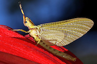 The lifespan of an adult mayfly can vary from just 30 minutes to one day depending on the species.