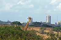 Masai Giraffes (Giraffa camelopardalis).  Nairobi National Park.