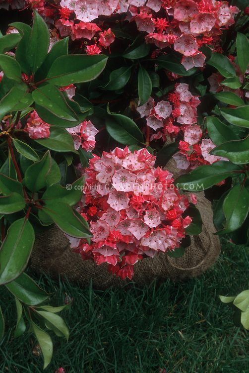 Kalmia latifolia 'Paul Bosley' Olympic Fire Mountain Laurel Red Pink in flower in spring