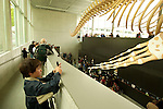 The new blue whale exhibit at the Beaty Biodiversity Museum located on the campus of The University Of British Columbia Vancouver BC, May 22nd 2010.  This was the first of five free summer previews of the exhibit open to the public.  The skeleton is the largest in Canada 25-meters long, and largest in the world suspended without an external armature.  The blue whale is the largest animal to have ever live on earth. Photo by Gus Curtis.