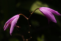 Bletilla striata, or Shiran, also known as a hyacinth orchid, blooming in a garden in Tokyo.