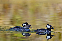 Hooded Mergansers (Lophodytes cucullatus) in old beaver pond along Hoh River, Olympic National Park, WA.<br /> Late Fall.  One female with two males.