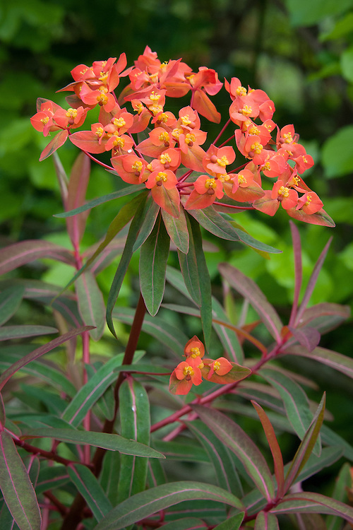 Euphorbia griffithii 'Dixter', Great Dixter, early May.