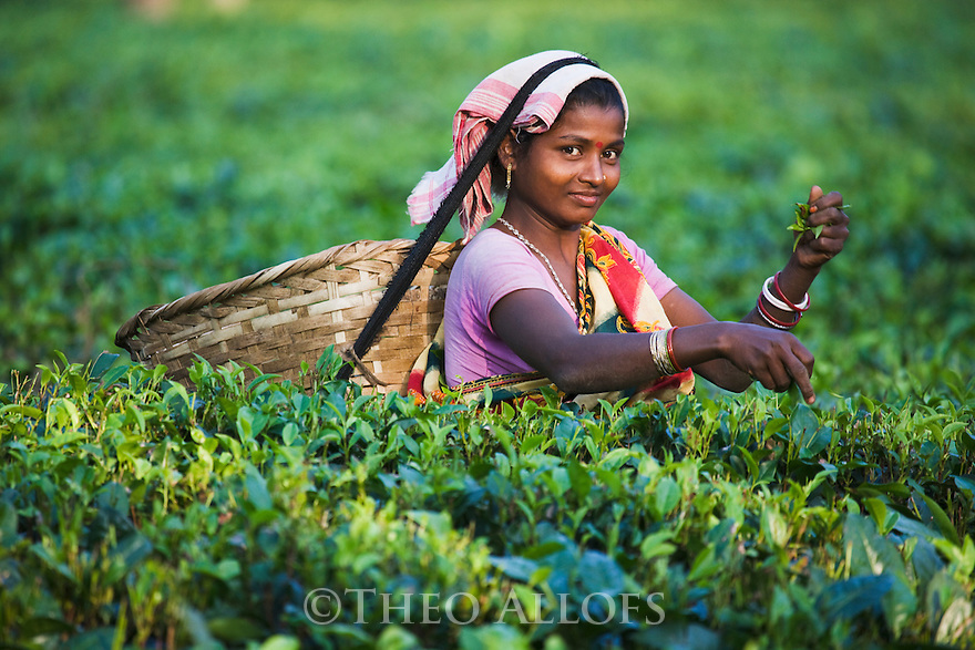 Woman harvesting lowland tea, portrait, Assam, India --- Model Released