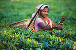 Woman harvesting lowland tea, portrait, Assam, India --- Model Released